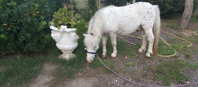 Enpa pony via Tuscolana 7-2